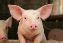 The evolution of Danish pig farming