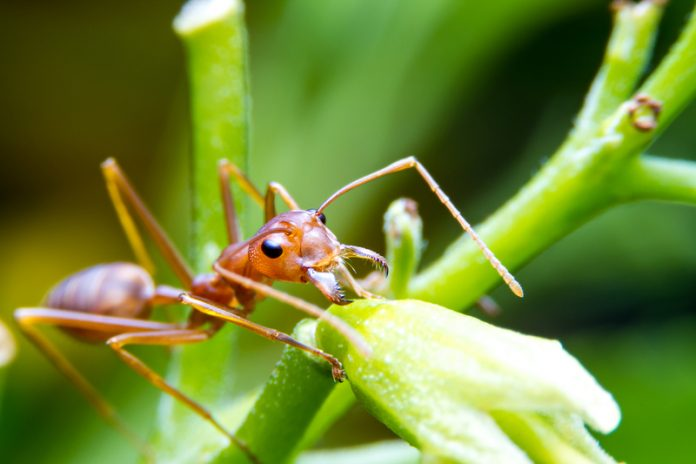Biological Control Fire Ants