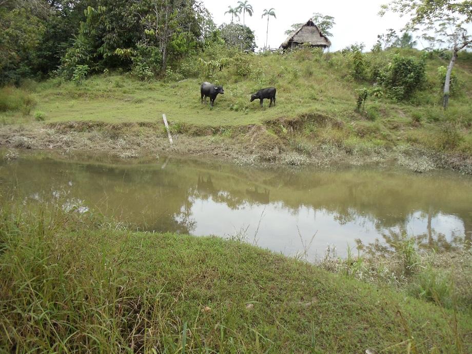 Fig. 2 Salvador, Napo River, larval collection site positive for An. darlingi Peru 2016