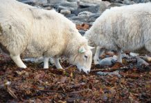 Alternative feed sources for sheep include seaweed