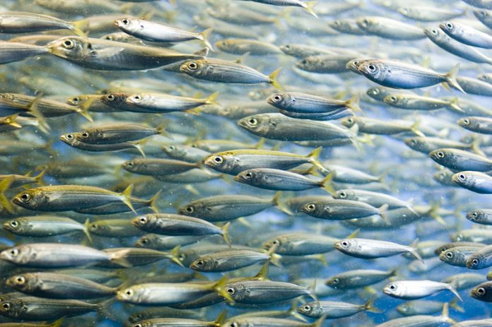 novel nutraceuticals from sardines