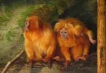progressive zoos wildlife trafficking golden lion tamarins