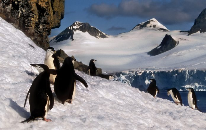 climate change in polar regions chinstrap penguins in snow