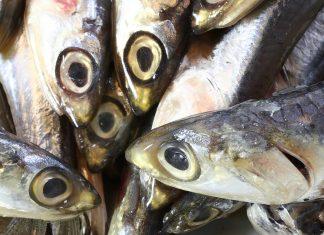 pelagic fish