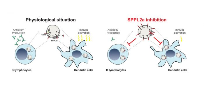 The intramembrane proteases SPPL2a as a novel target for therapeutic immunosuppression, illustrated by Bernd Schröder