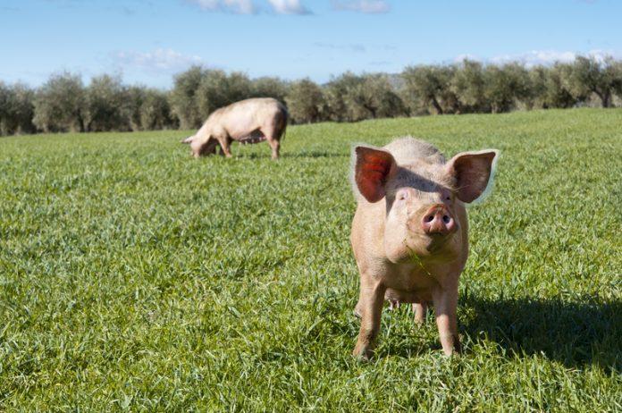 British pig industry
