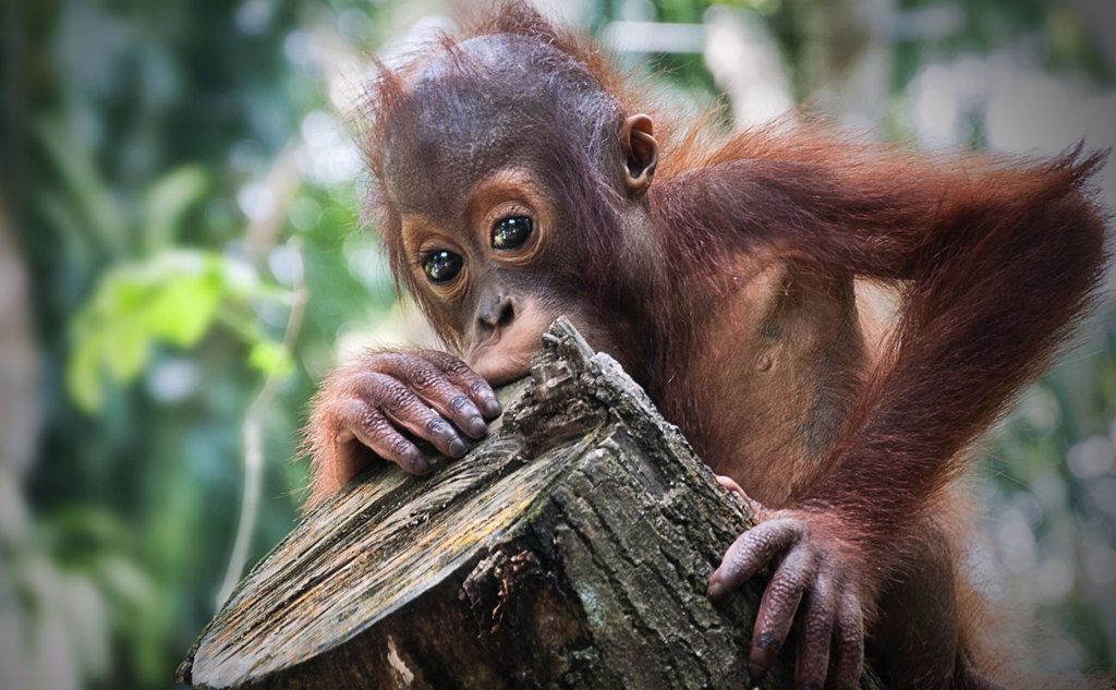 uk palm oil sustainability, animal extinction