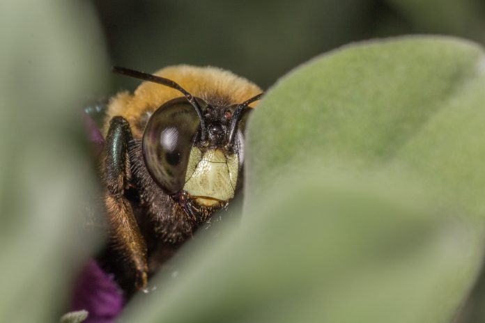 save rare bees, billberry bumblebee