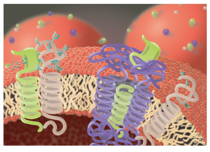 Figure 1: Regulation of protein glycosylation by SPPL3, illustrated by Charlotte Spitz