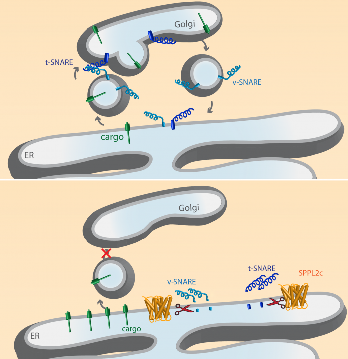 Figure 2: Vesicle transport under normal conditions (a) and in maturating sperms expressing SPPL2c (b), illustrated by Alkmini Papadopoulou