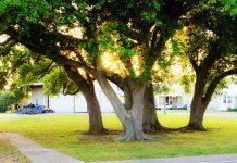 building better oaks, urban environments
