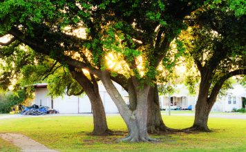 building better oaks, urban environments
