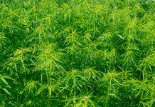 future of hemp