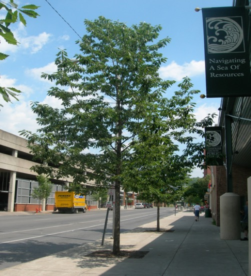 Oaks in restricted urban spaces