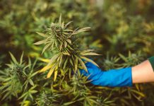 cannabis products, European Monitoring Centre for Drugs and Drug Addiction