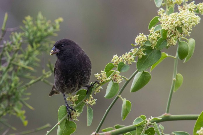 behaviour in galapagos finches, antipredator behaviour