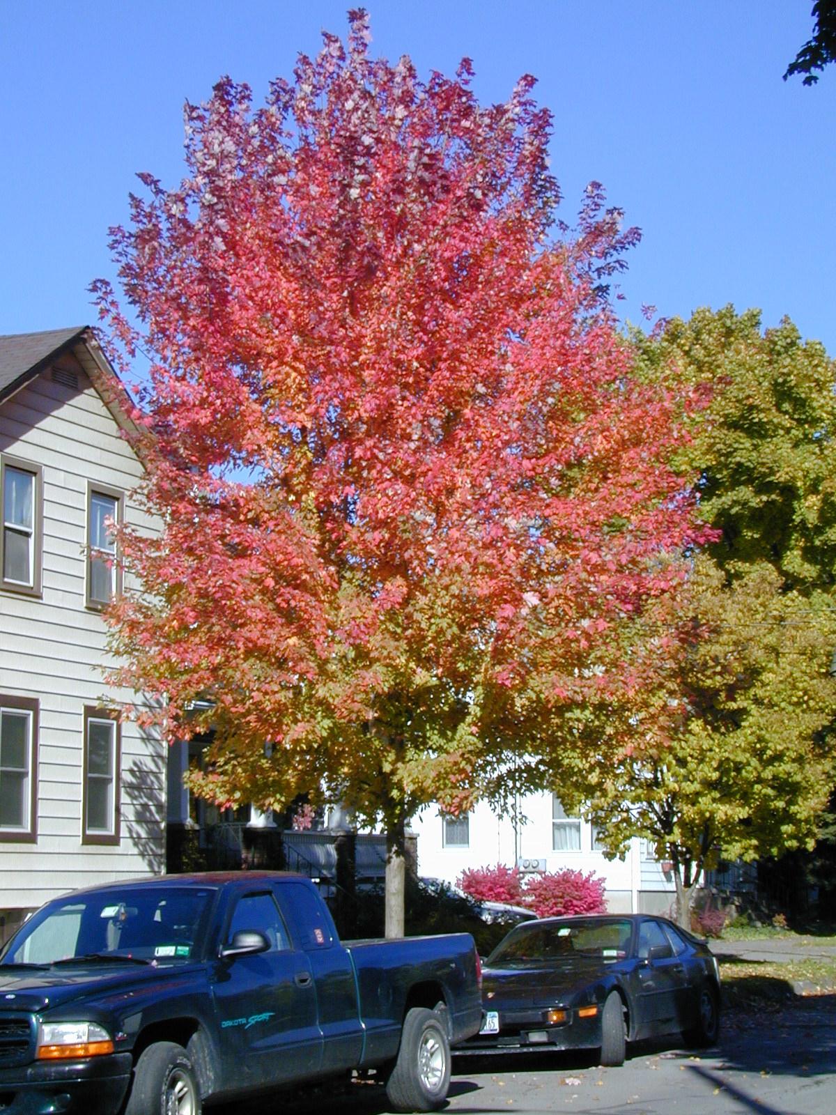 autumn leaf colour, plant science