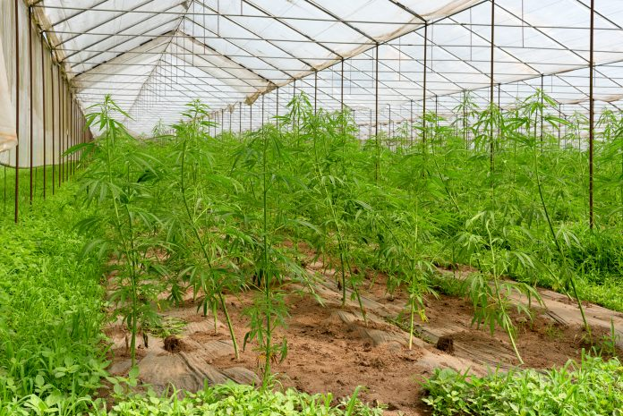 cultivation of medical cannabis