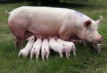 fertility in pigs