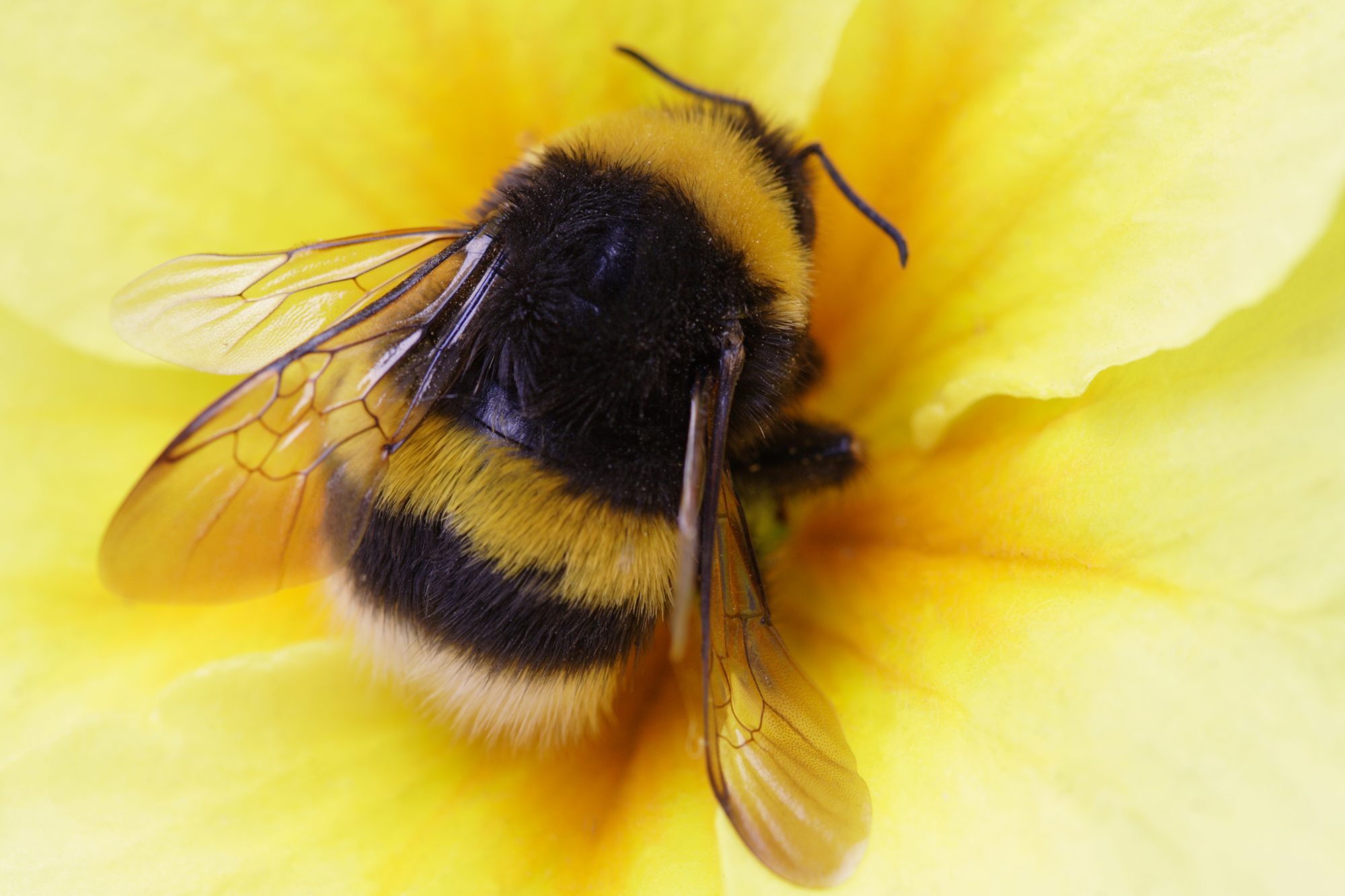 Researchers emphasise that bumble bees need biodiversity