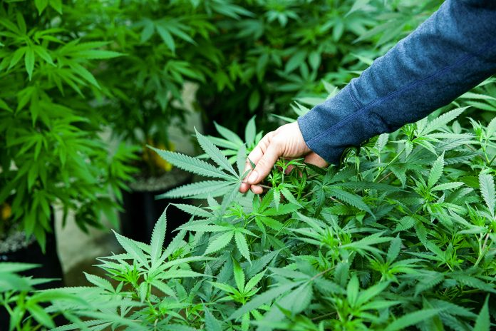 legalising medical cannabis