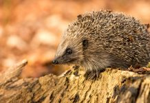 hedgehogs extinction