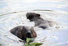 beavers in devon