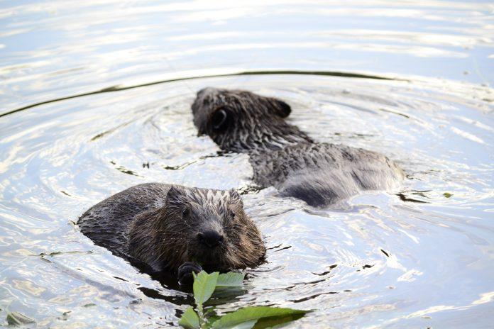 beavers in devon
