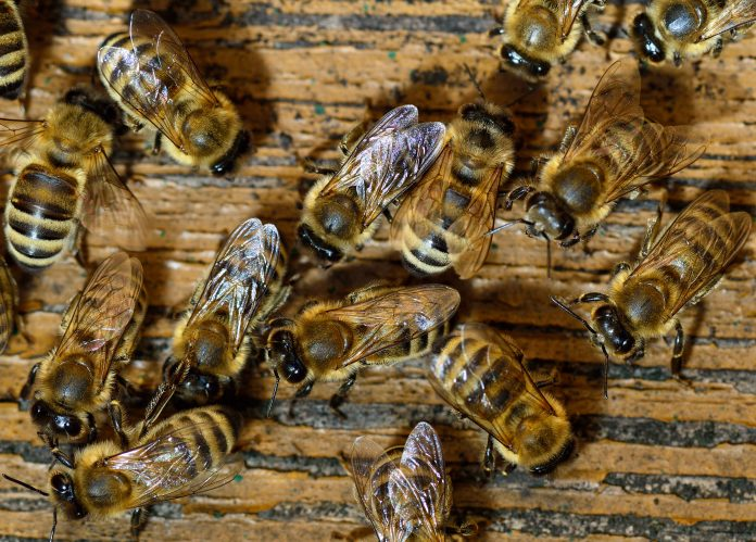 honeybee venom, breast cancer