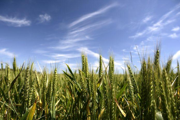 crop variety