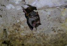 vampire bats socially distance