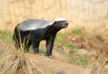 living honey badger