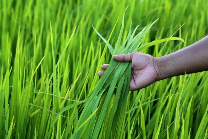 U.S. rice farmers