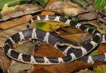snake species asia, suzhen's krait