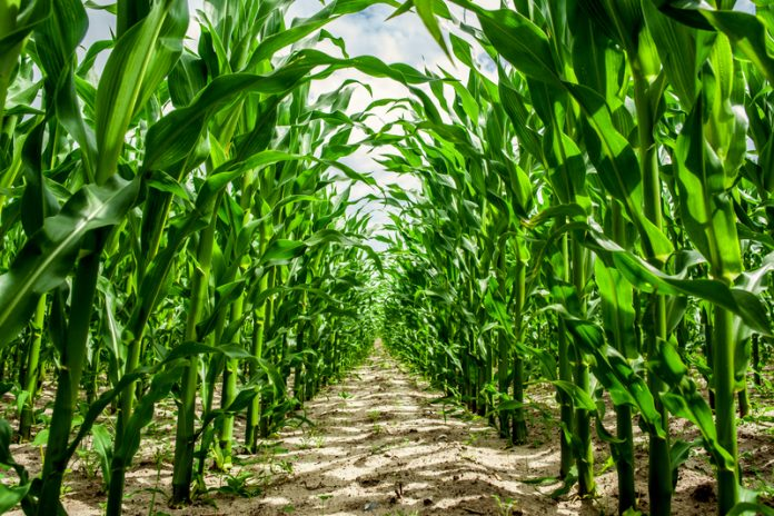 GE crops