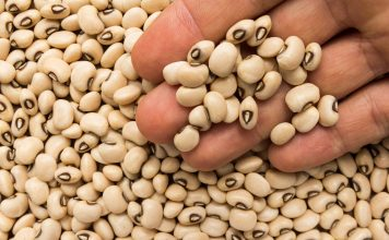 major insect pests, cowpea