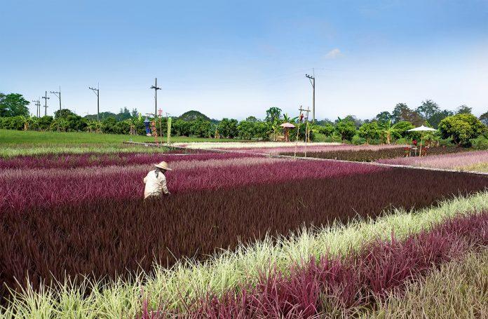 rainbow rice, rice science center