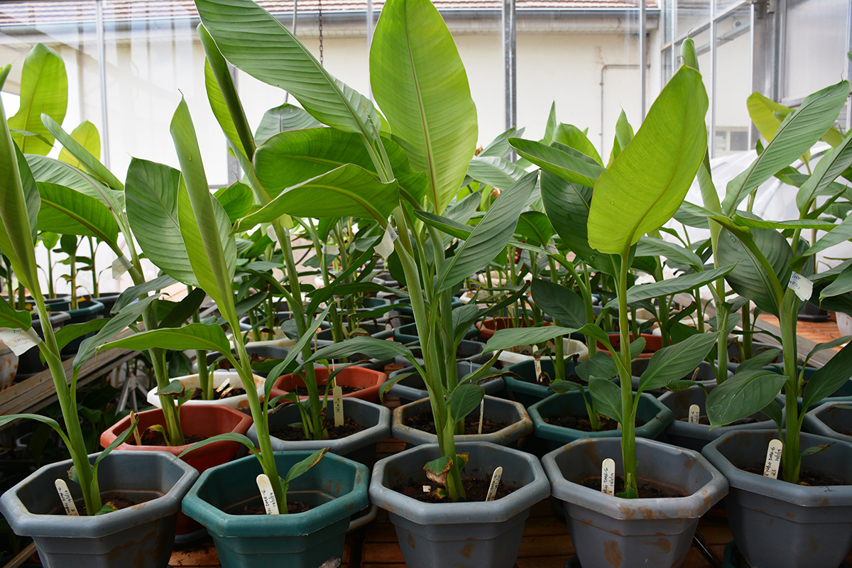 banana xanthomonas wilt