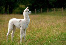 llama nanobodies, future vaccinations